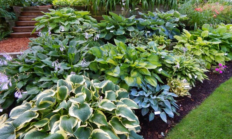 Хости — місце в дизайні саду і посадка