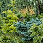 Як і коли підживлювати хвойні рослини?