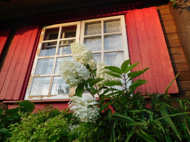 Гортензії і троянди, що цвітуть в серпні, потребують цього місяця особливої уваги