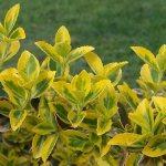 Бересклет Форчуна — один з найкращих декоративних невибагливих кущів