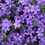 Дзвоник карпатський (Campanula carpatica)