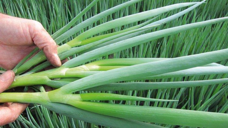 Посів під зиму цибулі-батуна вважається найпростішим