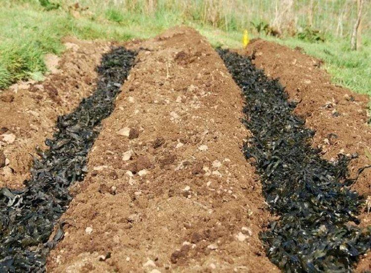 Підготовка до посадки картоплі в траншеї починається ще з осені