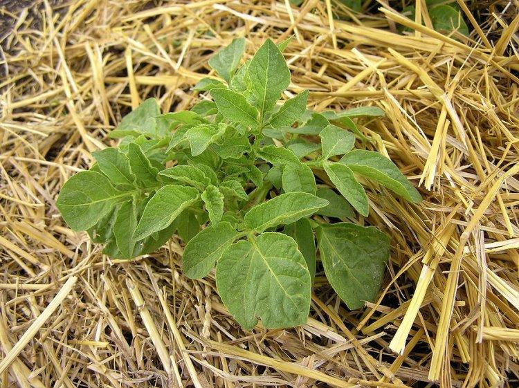 Можна висаджувати картоплю під солому навіть по цілині, без попередньої обробки ґрунту
