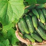 9 незамінних гібридів огірків, які я раджу вирощувати всім