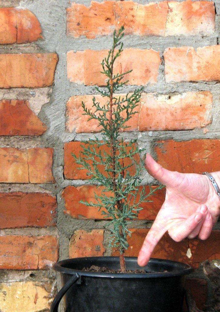 Ростуть сіянці кипарису швидко - до 40 см за сезон