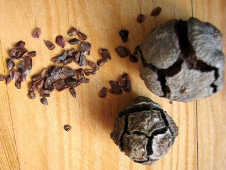 За кілька днів в теплі насіння саме випадає з шишок кипарису