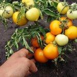 Томат «Каченя»