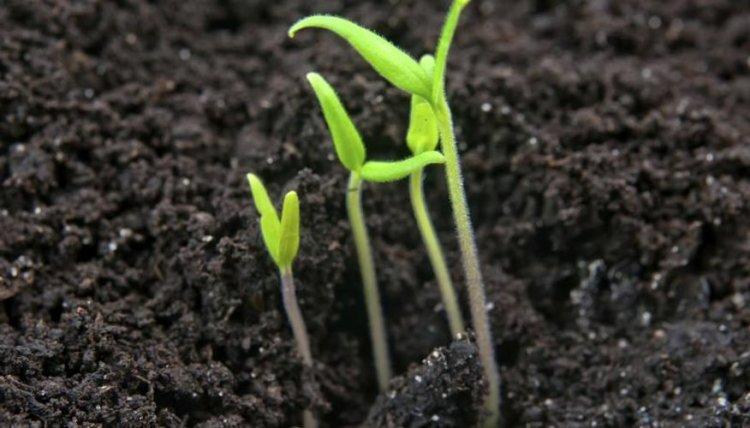 Коли у сходів томатів з'являться 2-3 справжніх листки, потрібно буде залишити найсильніший паросток, інші прибрати