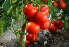 Вирощуємо томати без розсади — сорти, переваги та недоліки методу