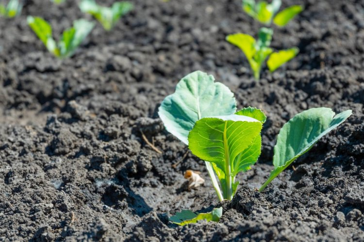 Догляд за безрозсадною капустою не відрізняється від догляду за сіянцями капусти, вирощеними через розсаду