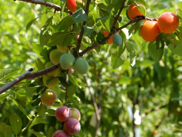 Дерево-сад — як створити багатосортове або мультиплодове дерево