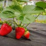 9 кращих матеріалів для мульчування полуниці