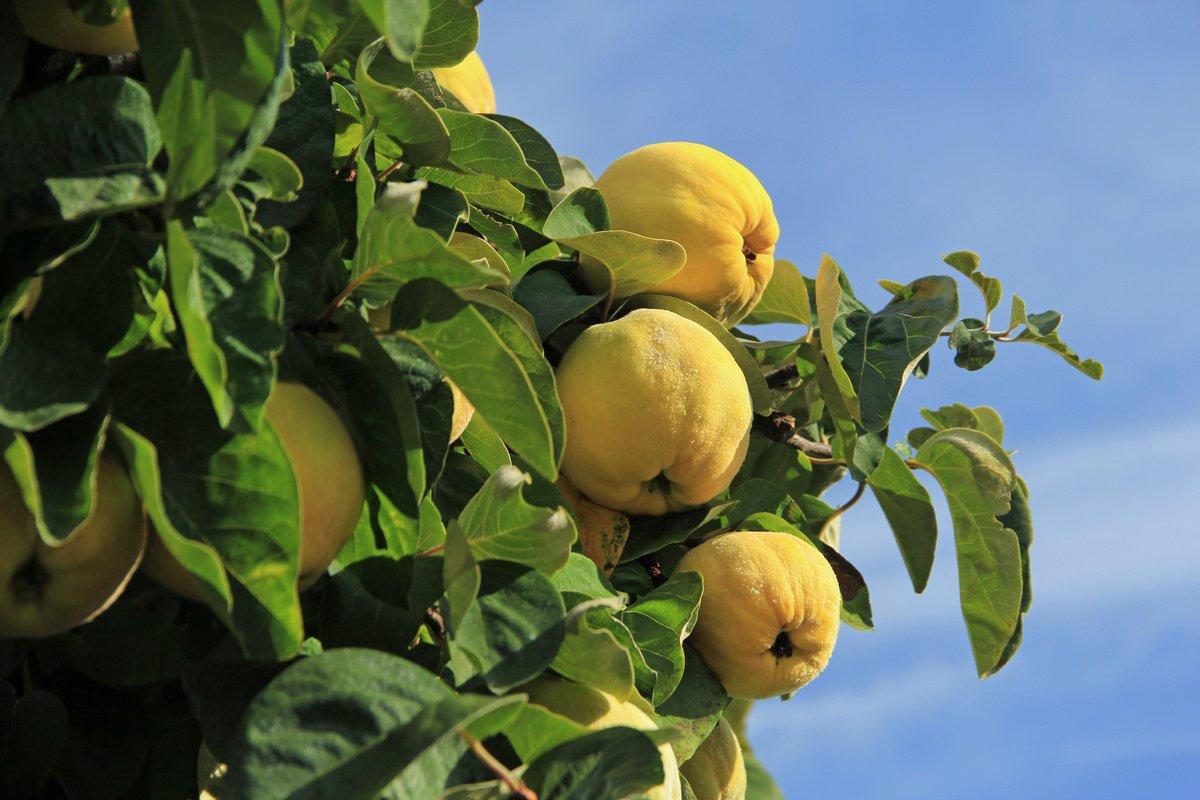 Айва — гарне дерево, смачні та корисні плоди
