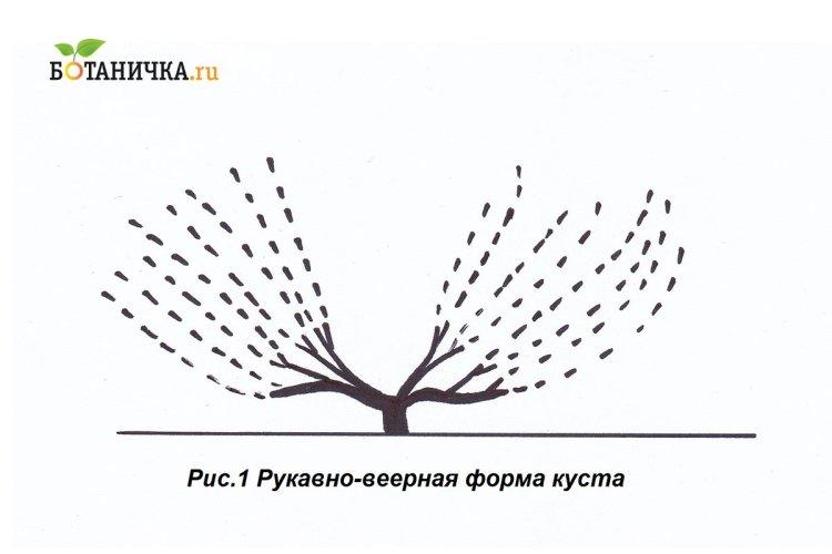 Рукавно-віялова схема формування винограду