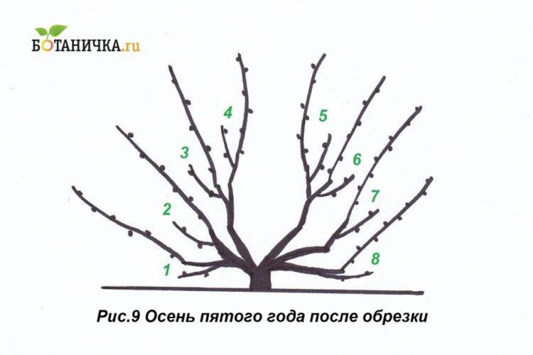Після обрізки на 5-й рік на кущі має бути сформовано 8 плодових пар