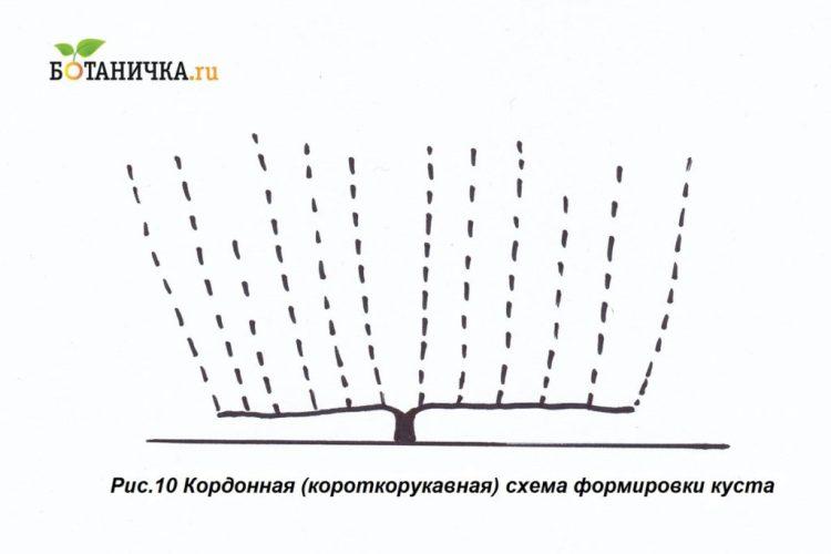Кордонна схема формування винограду