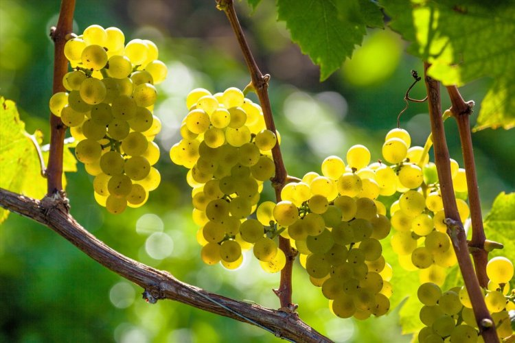 Формування винограду в регіонах з морозними зимами