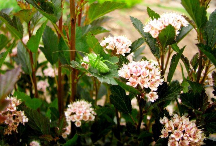 Пухироплiдник калинолистий для лінивого саду підходить ідеально