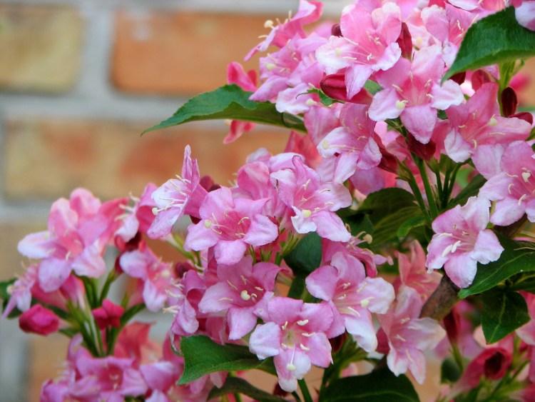 Вейгела — один з найкращих квітучих кущів весни