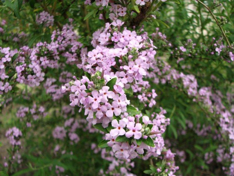 Один з недоліків будлеї черговолистої — вже відцвілі квітки краще видаляти