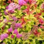 Спірея японська — різнокольоровий чагарник для вашого саду