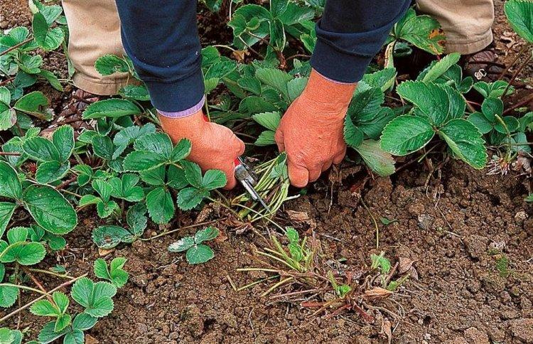 Якщо листя полуниці вражене хворобами або шкідниками, майже всю зелену масу після плодоношення краще обрізати
