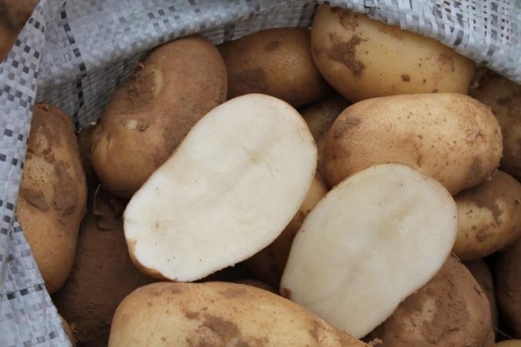 Картопля «Удача»