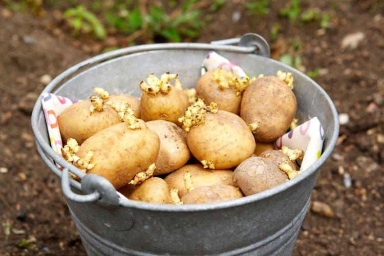 Ретельно відбираючи здоровий матеріал для посадки, дотримуючись сівозміни та підбираючи стійкі проти фітофтори сорти картоплі, можна її уникнути