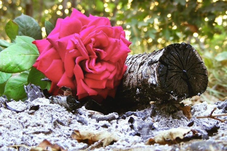 Немає більш універсального, дешевого та доступного засобу для троянд, ніж звичайна деревна зола з печі або з мангала