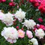 Як доглядати за півоніями восени, щоб вони пишно цвіли навесні?