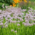 Цибуля поникла — корисна та смачна прикраса саду