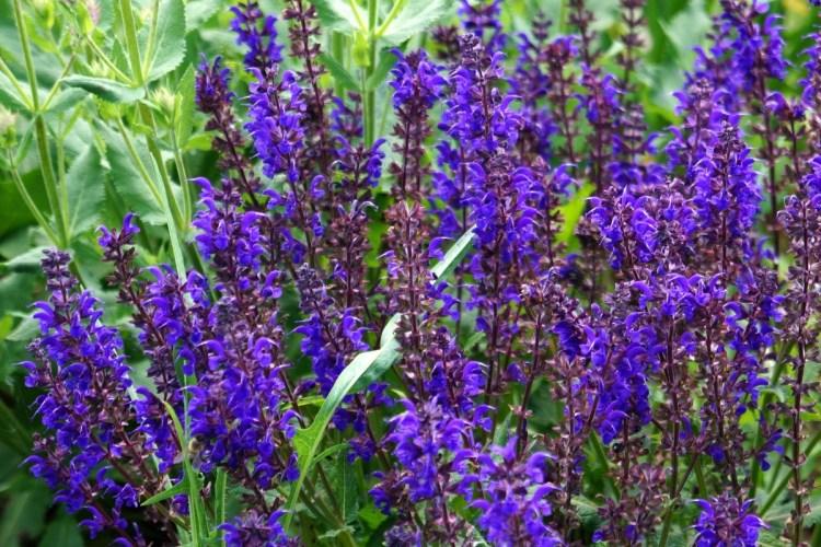 Шавлія дібровна «Карадон» (Salvia nemorosa 'Caradonna')