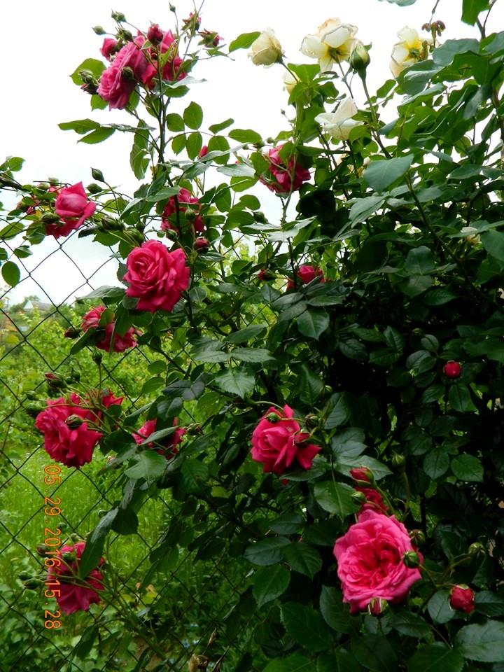 Троянда-клаймбер Laguna,Kordes, Німеччина, 1955