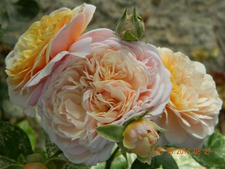 Троянда Parfum d'Orleans, Франція, 2006