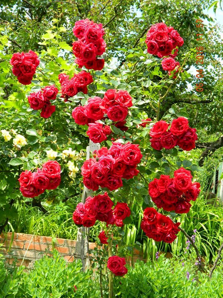 Троянда-гібрид Kordesi Sympathie, Kordes, Німеччина, 1964