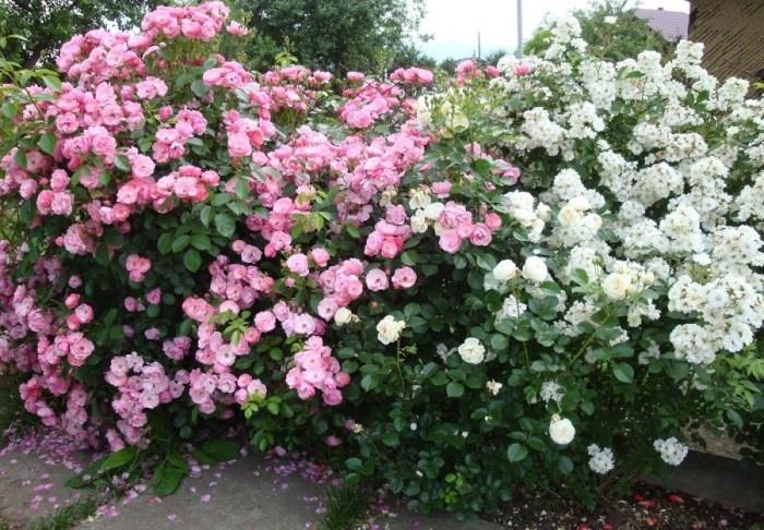 Мускусна троянда Guirlande d'Amour (біла зправа), а також Angela (рожева зліва) та Artemis (біла внизу)