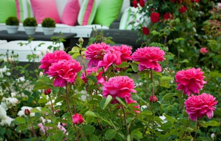 Поділ троянд на групи за декоративними ознаками