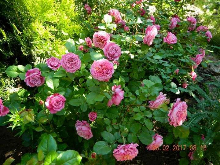 Троянда Agnes Schilliger, Massad Франция, 1997