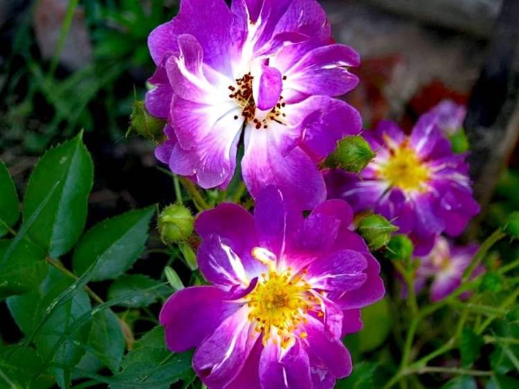 Троянда Veilchenblau