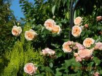 Плетисті троянди клаймбери — виразні акценти саду. На фото троянда Amaretto, Kordes, Німеччина