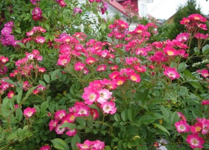 Троянда Mozart