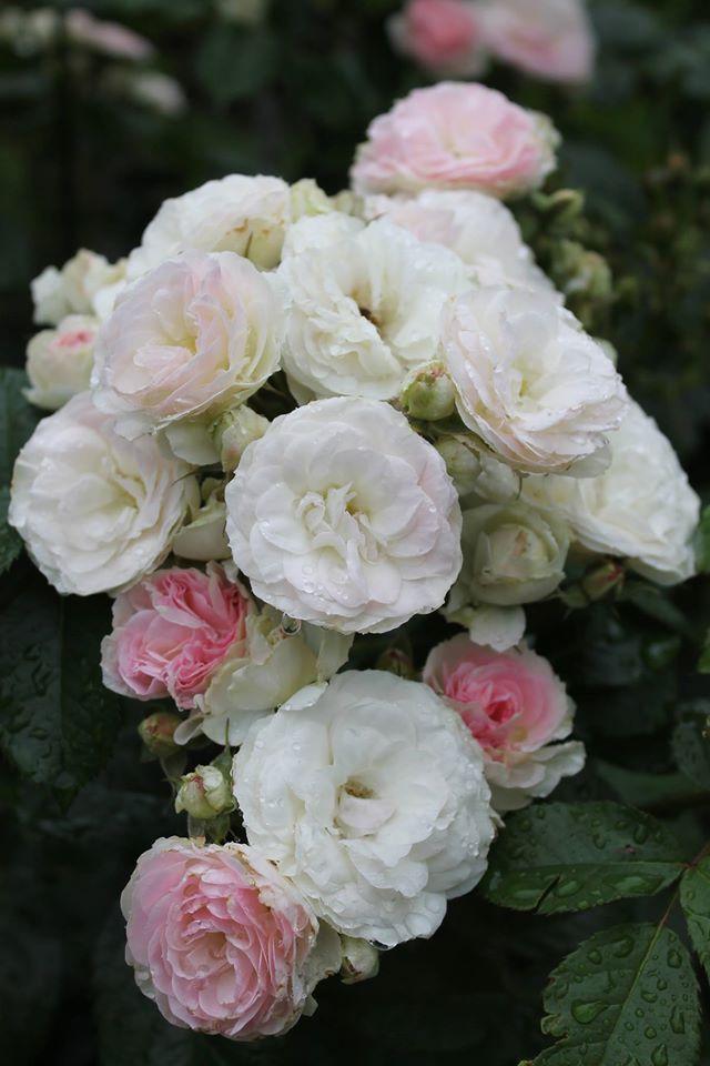 Троянда Bouquet Parfait