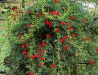 5 однорічних декоративних ліан, які швидко виростуть з насіння