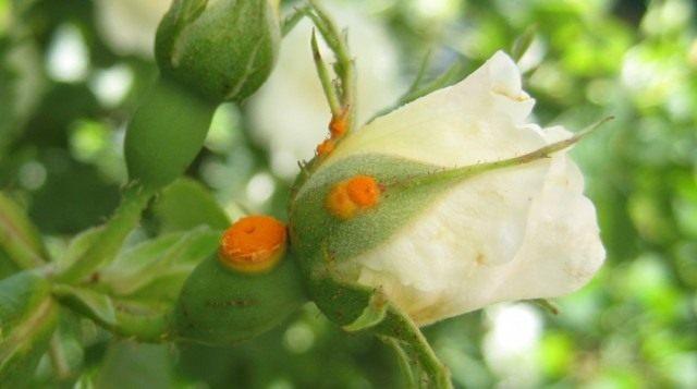 Іржа троянди