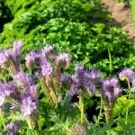 Фацелія — сидерат, медонос і декоративний однорічник для квітника