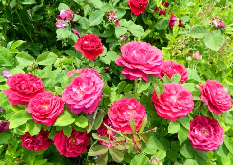 Троянда Souvenir du Docteur Jamain, Lacharme Франція, 1865