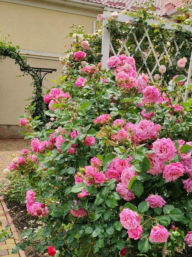 Розкішна троянда Benvenue додає насичених рожевих кольорів в палітру і парфумований аромат на весь сад