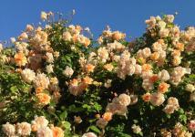 Старовинні сорти троянд жовтих та кремових відтінків, які можна знайти в Україні