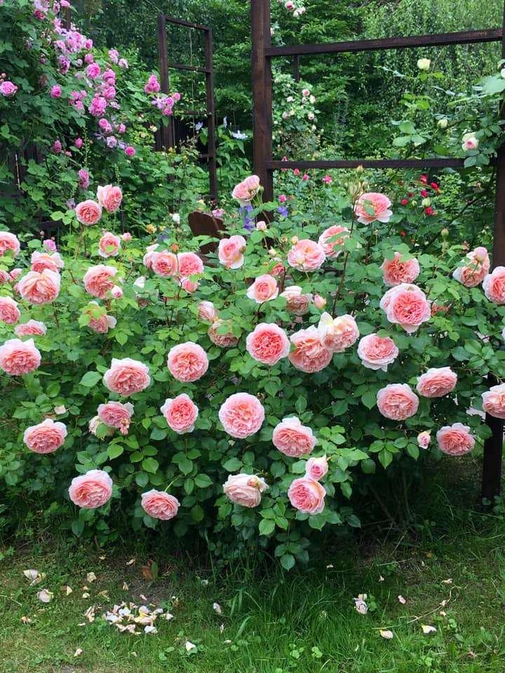 Троянда Abraham Darby — справжній постачальник пелюсток для «переробки»
